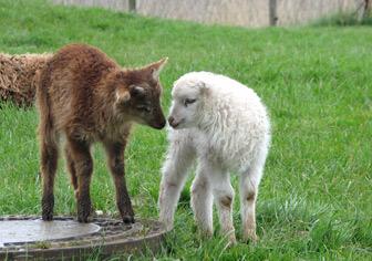 Schafschur wie damals im Nationalpark-Zentrum Multimar Wattforum