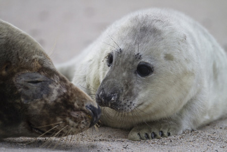 Erste Kegelrobben-Babys im Wattenmeer gesichtet