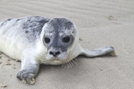 Nationalpark Wattenmeer: Mit der Wurfzeit beginnt der Stress für die Seehunde