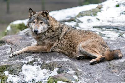 Wölfe haben Schafe in Dithmarschen gerissen