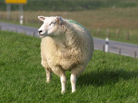 Umweltminister Habeck  besuchte Schafskäserei in Tetenbüll