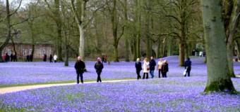 Krokusblüte in Husum in voller Pracht – Husumer Krokusblütenfest 2014 Ende März