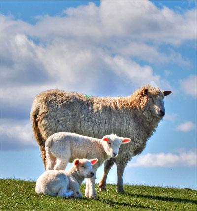 Haus Peters veranstaltet einen Tag rund um das Schaf