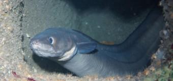 Frischer Fisch im Multimar Wattforum Tönning: Meeraal findet neues Zuhause