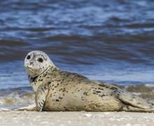 Influenzavirus tötet derzeit viele Seehunde an Deutschlands Nordseeküsten