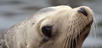 Ursache des Seehundsterbens in der Nordsee weiterhin unbekannt