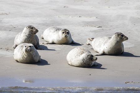 Immer weniger tote Seehunde werden gefunden