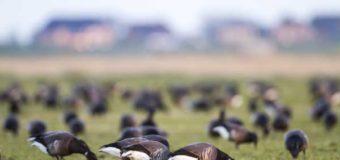 Nordfriesland: Ringelgänse sind eingeflogen