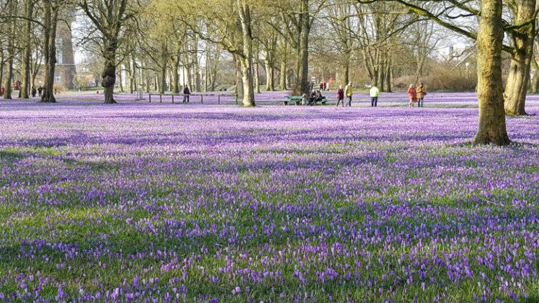 Husumer Krokusblütenfest und verkaufsoffener Sonntag findet nicht statt