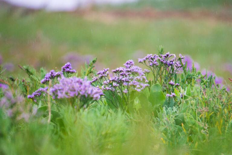 Frühe Blüte des Strandflieders im Nationalpark Wattenmeer